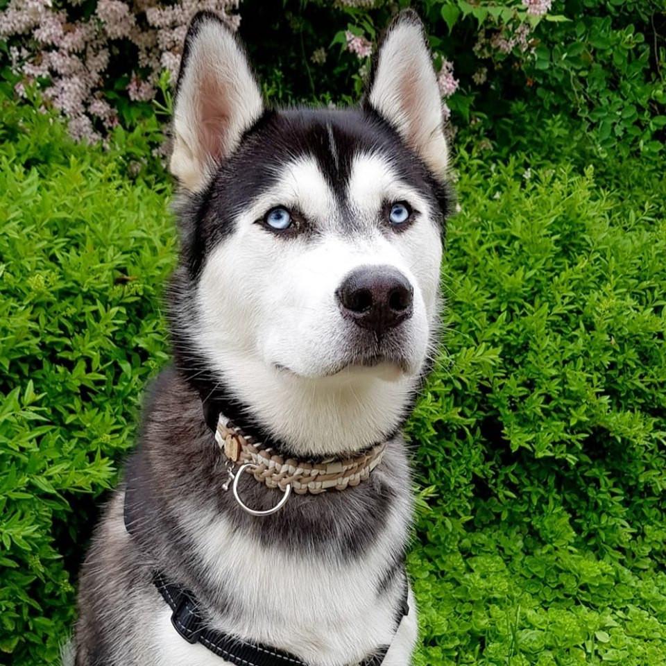 Husky mit Extrabreitem Halsband