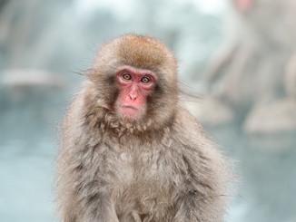 Parc aux singes de Nagano