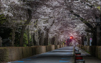 Aoyama cherry Blossom