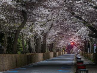 Cerisiers en fleurs d'Aoyama