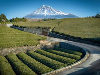 Plantations de thé & Mont-Fuji