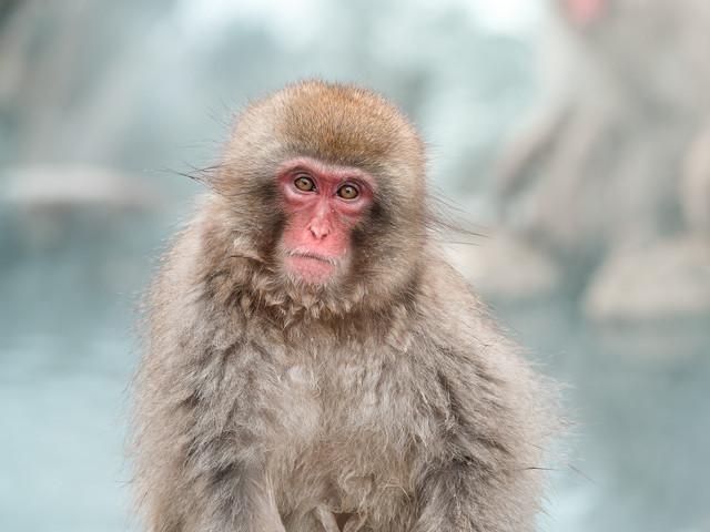 Le parc à singes de Jigokudani