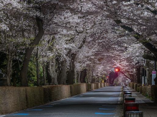 Aoyama cherry blossoms 2021