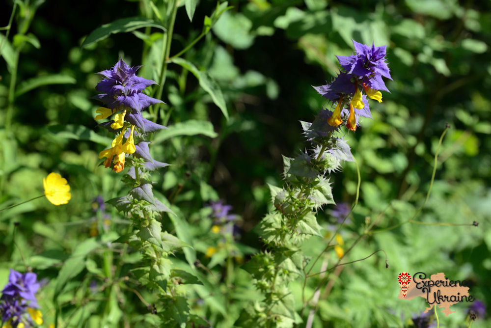 Blue Cow-wheat (Melampyrum nemorosum) LR-imp