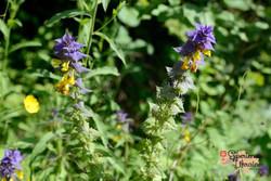 Blue Cow-wheat (Melampyrum nemorosum) LR-imp