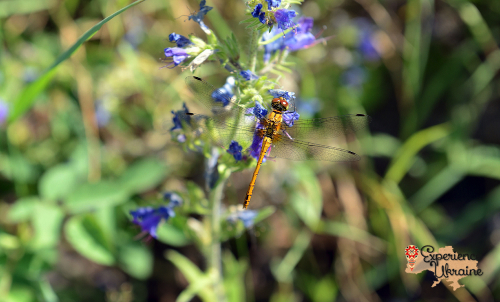 Common darter on Vipers Bugloss-imp