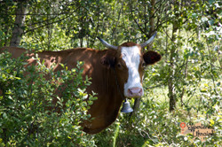 Cow among silver birch trees.