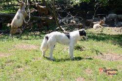 Ukrainian sheep dog-imp