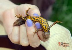 Ukrainian male great crested newt-imp