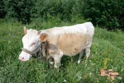 Ukrainian calf-imp