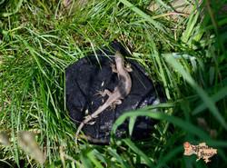 Common Lizard basking LR-imp