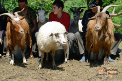 Shepherd boys milking goats and sheep-imp