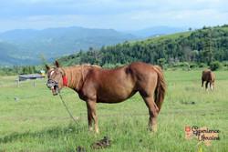 Yawning mare in Ukrainian meadow LR-imp