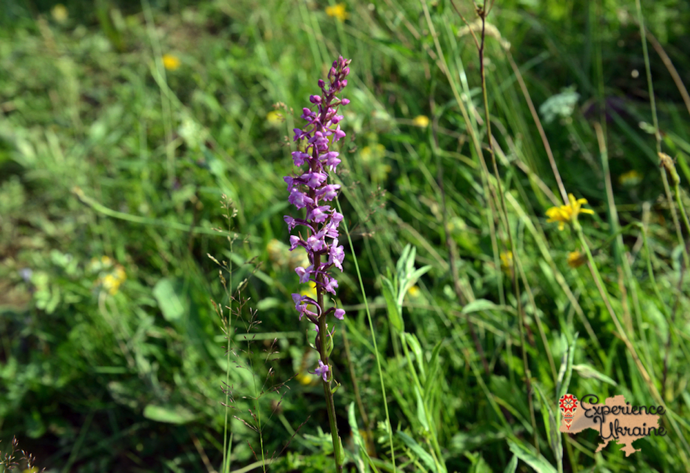 Fragrant Orchid Ukraine-imp