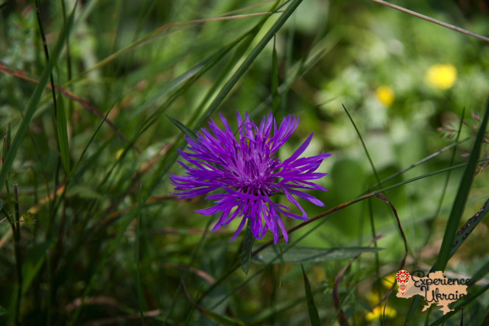 Wild flowers in Dzembronya