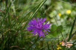 Wild flowers in Dzembronya