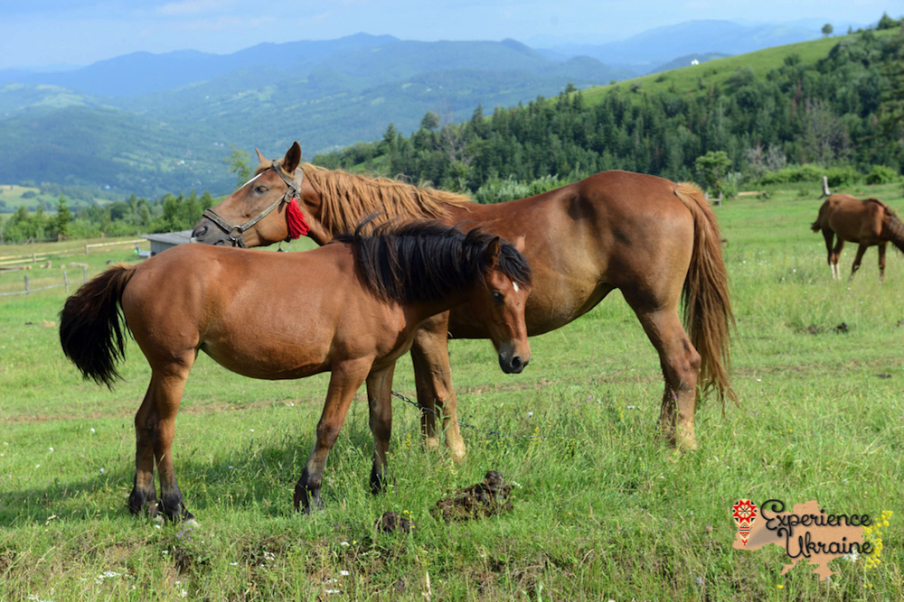 Ukrainian foal and mare in meadow LR-imp