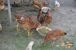 Chickens-imp