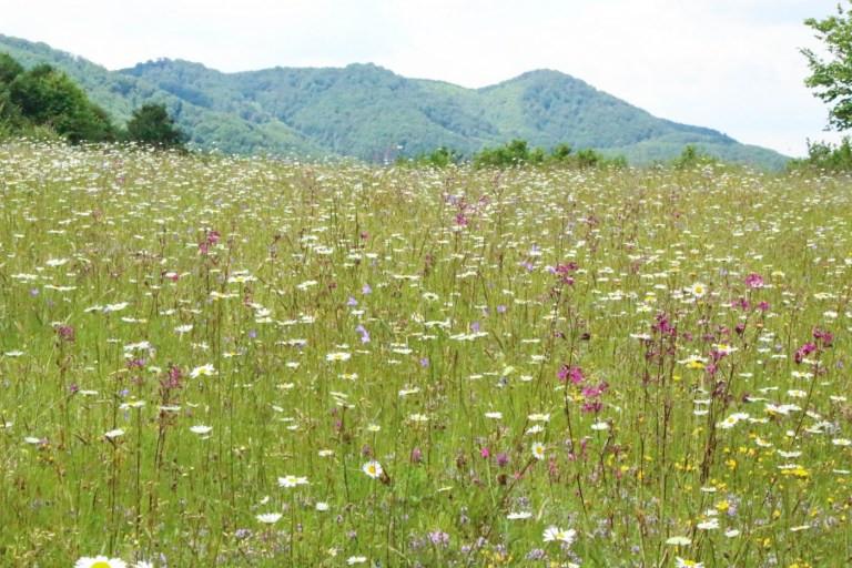 Wildflower meadows in Carpathians