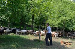 Shepherd boys herding goats and sheep LR-imp