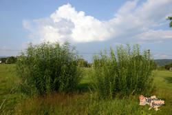 Salix purpurea x viminalis - the whicker osier-imp