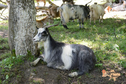 Ukrainian Goat-imp