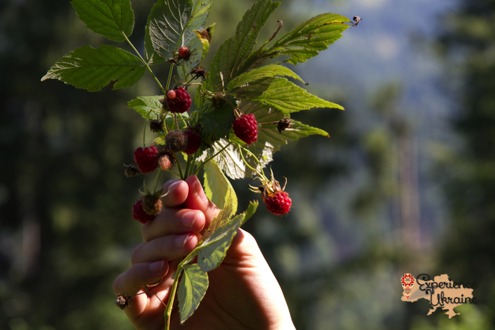 Wild raspberries in Dzembronya