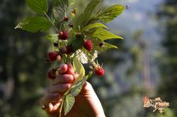 Wild raspberries in Dzembronya