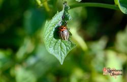 Colorado Beetle on potato leaf-imp