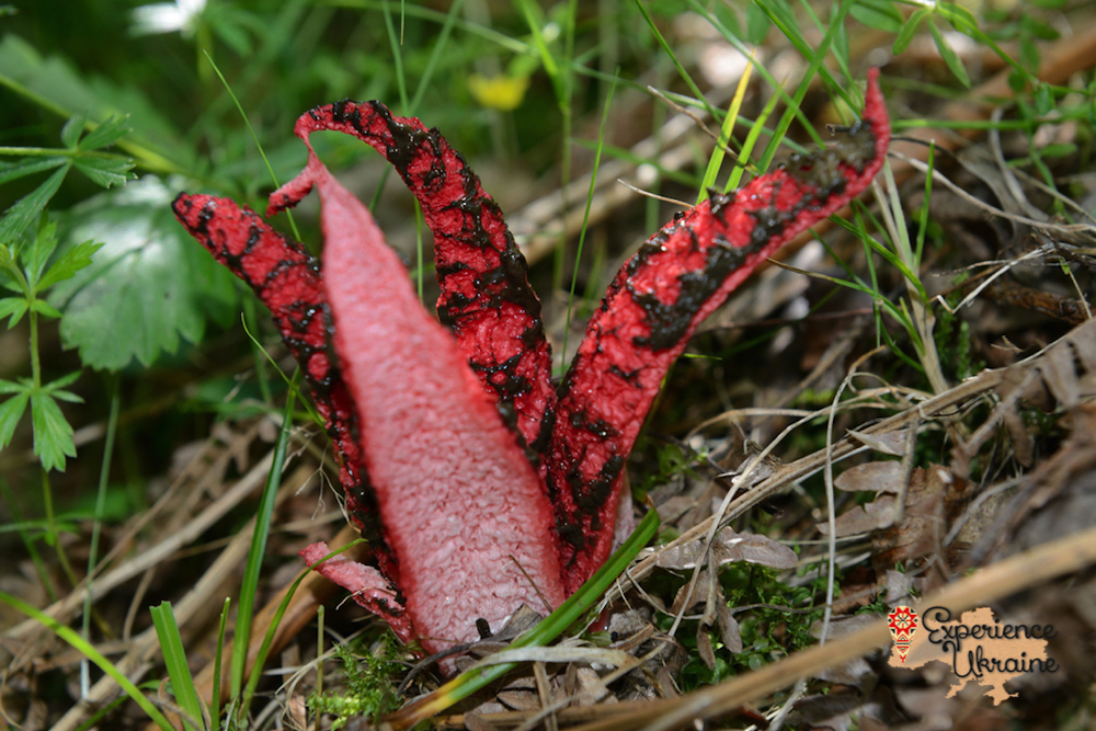 Side view of Octopus Stinkhorn-imp