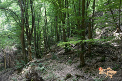 Beech Forest-imp