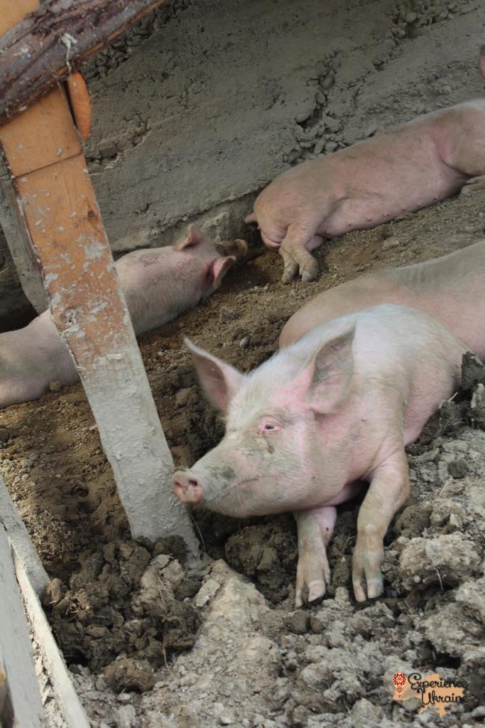 Pigs in Nyzhnie Selyshche