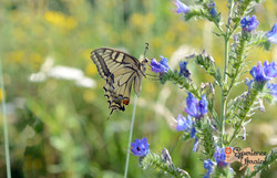 Underside of swallowtail on Vipers Bugloss-imp