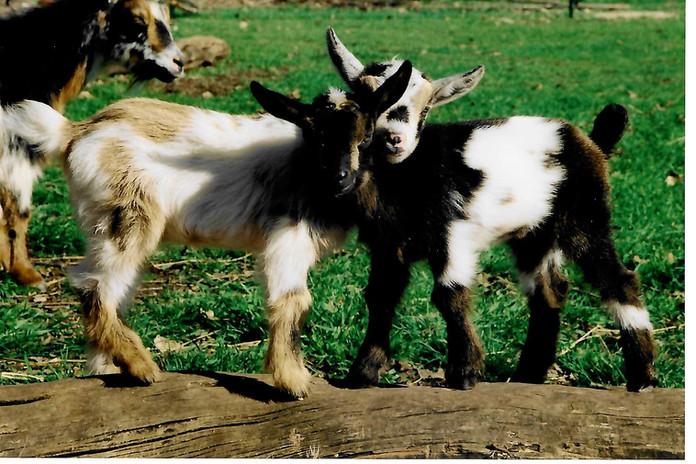 Goats on the Heath Ranch