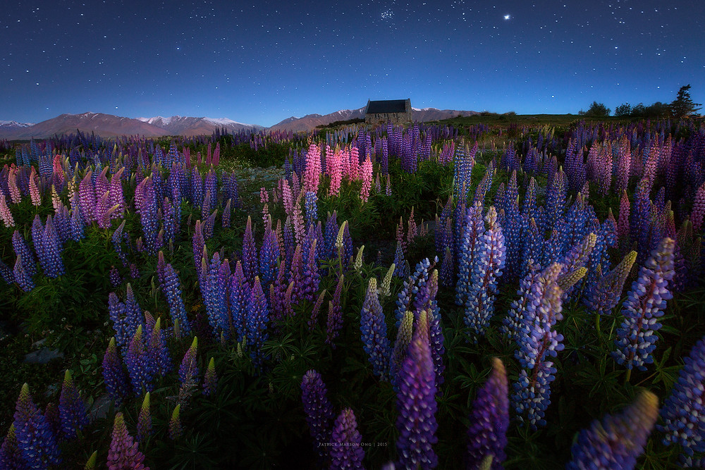 Lupines and the Church