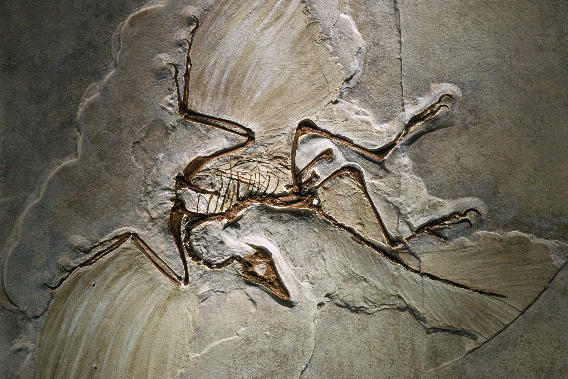 Archaeopteryx_fossil.jpg