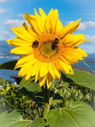 Sunflower at Oceana B&B