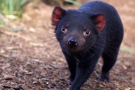 Bonorong-TasmanianDevil.jpg
