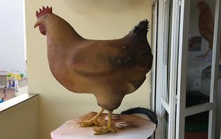 Un poulet pas loupé