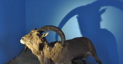 Mouflon à Manchette faisant la Une