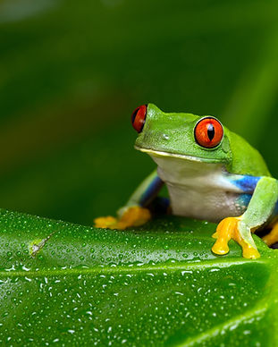 Red-Eyed Amazon Tree Frog (Agalychnis Ca