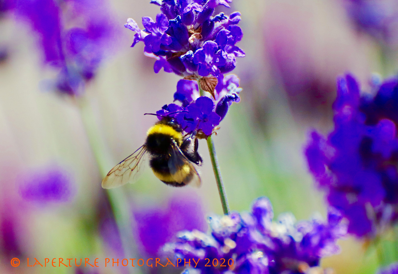 Bee Lavender_edited-1.jpg
