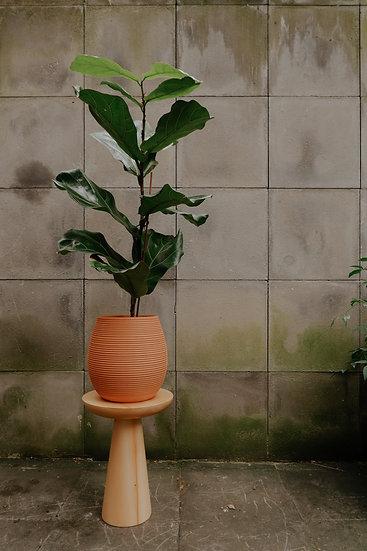 Ficus Lyrata (Fiddle leaf-fig)