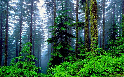 Pine Woods - Sample