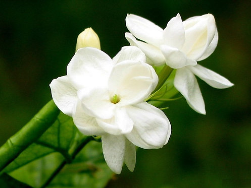 Jasmine - Sample
