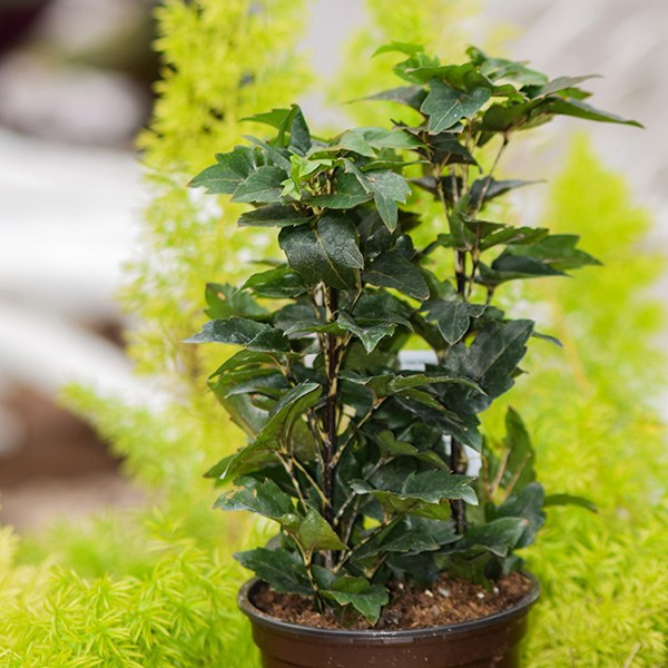 Image result for olympia false aralia plant