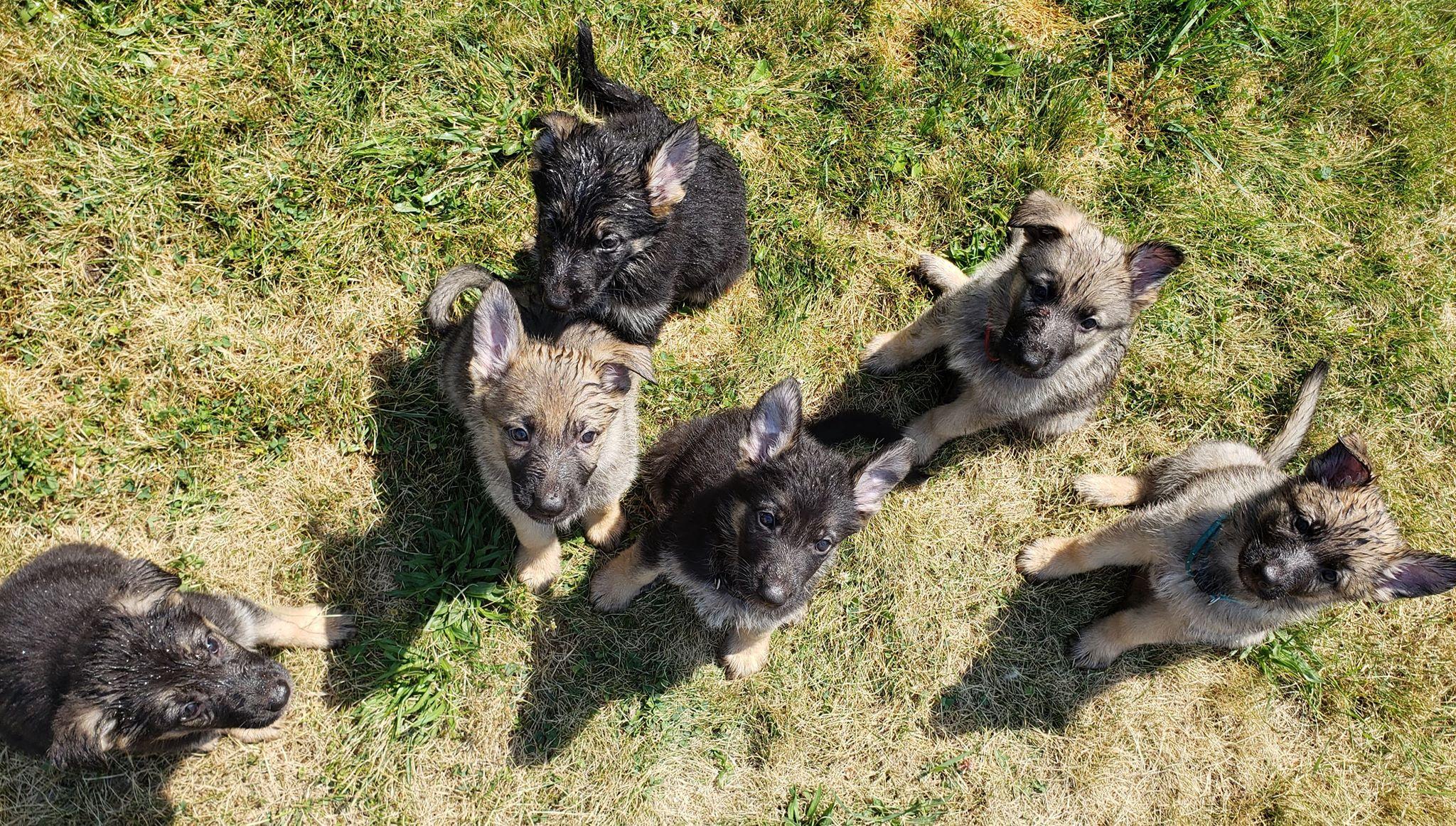 B Litter Puppies 'Manding'