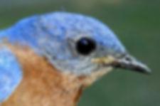 Bluebird_4.jpg