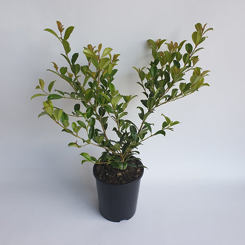 Resilience Lilly Pilly 140mm pot