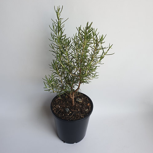 Rosemary 140mm pot